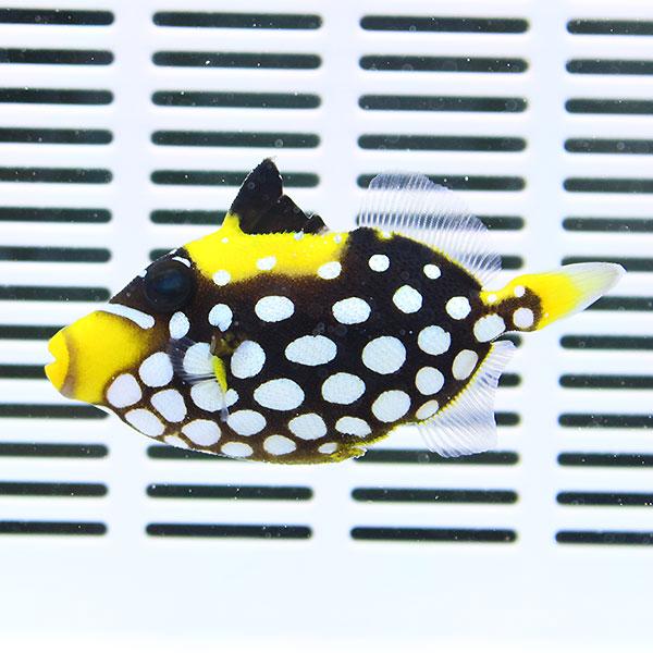 海水魚 カワハギ 死着保証あり モンガラハギ M 70%OFFアウトレット 餌付け t119 ハギ 8-10cm± 15時までのご注文で当日発送 激安通販販売