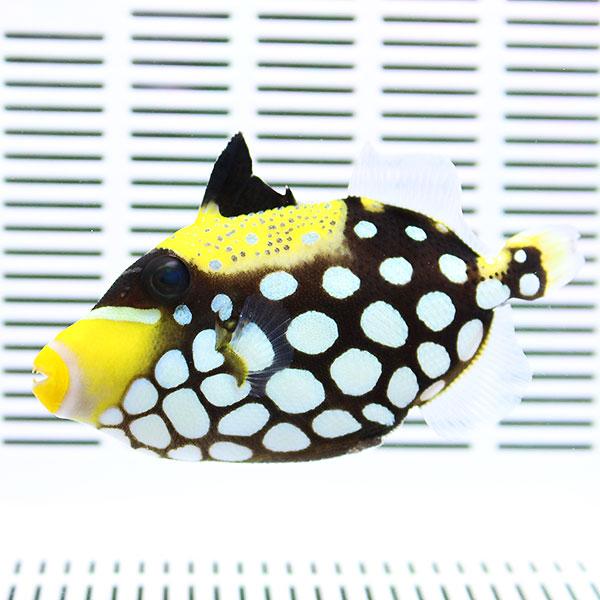 海水魚 在庫あり カワハギ 人気海外一番 死着保証あり モンガラハギ S t119 15時までのご注文で当日発送 6-8cm± ハギ 餌付け