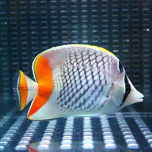 アミメチョウ 3匹セット 7-9cm± 海水魚 t114 5☆好評 安心の定価販売 餌付け チョウチョウウオ