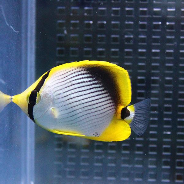 アケボノチョウ 3匹セット 4-6cm± 店 クリアランスsale 期間限定 海水魚 15時までのご注文で当日発送 チョウチョウウオ t114