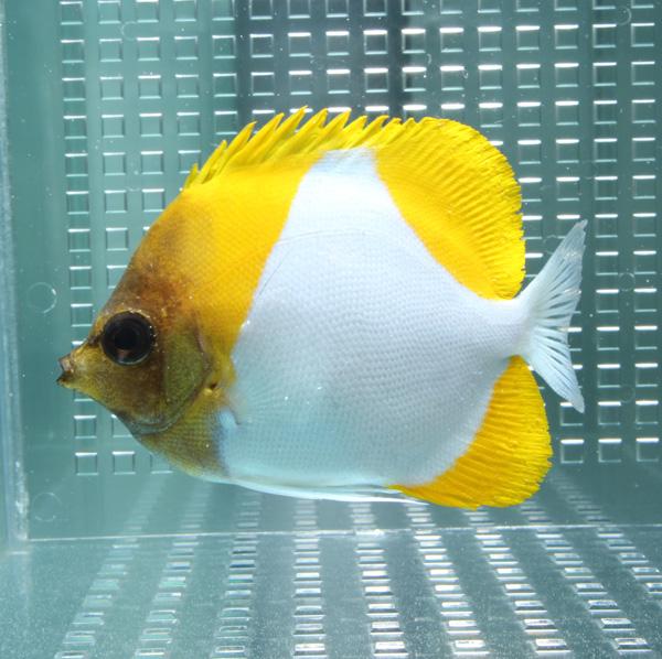 カスミチョウ 通常便なら送料無料 9-11cm± 新色 海水魚 餌付け チョウチョウウオ t114