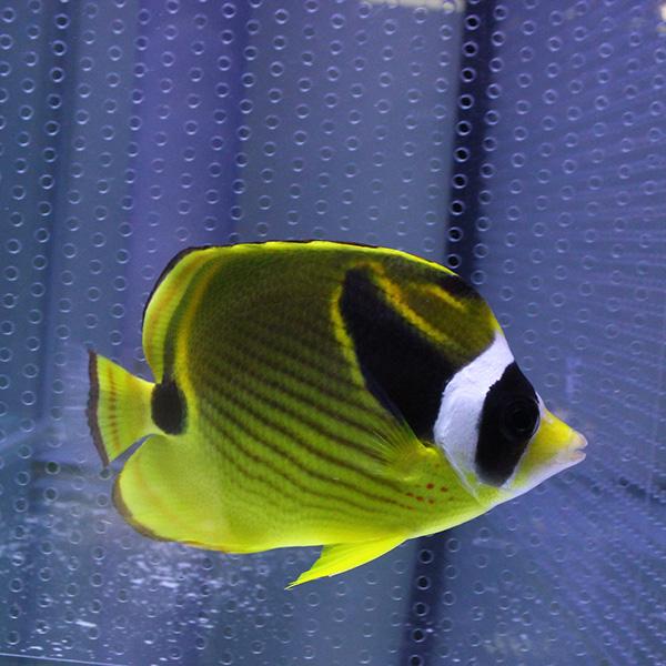 10%OFF スーパーSALE セール期間限定 チョウハン 6-8cm± 海水魚 チョウチョウウオ t114