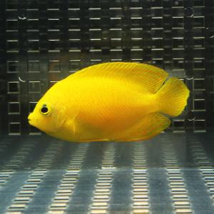 送料無料新品 ヘラルドヤッコ 5-7cm± 海水魚 15時までのご注文で当日発送 t111 ヤッコ 今ダケ送料無料