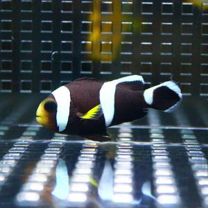ホワイトチップアネモネ 1匹 安い 激安 プチプラ 高品質 海水魚 t115 クマノミ 数量は多