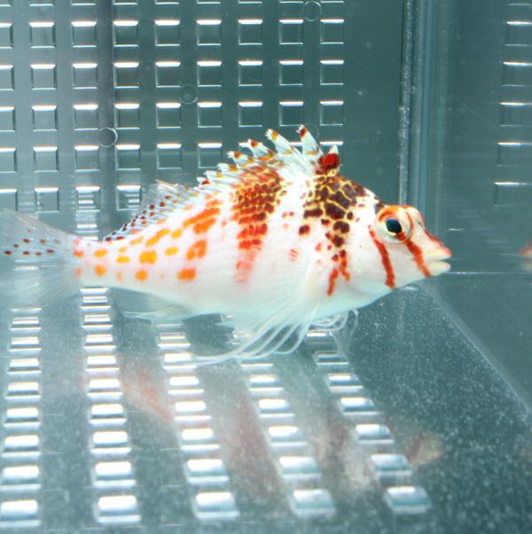サラサゴンベ 半額 1匹 海水魚 ゴンベ 捧呈 t125 15時までのご注文で当日発送 餌付け