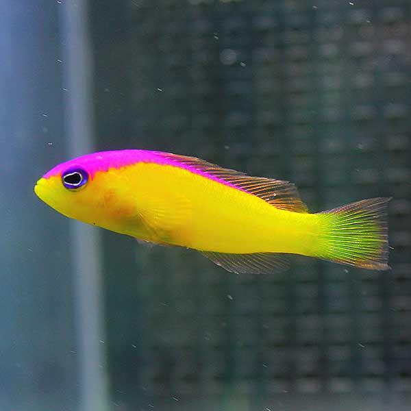 カンムリニセスズメ 奉呈 3匹セット 4-6cm± 海水魚 t120 餌付け15時までのご注文で当日発送 贈物 メギス