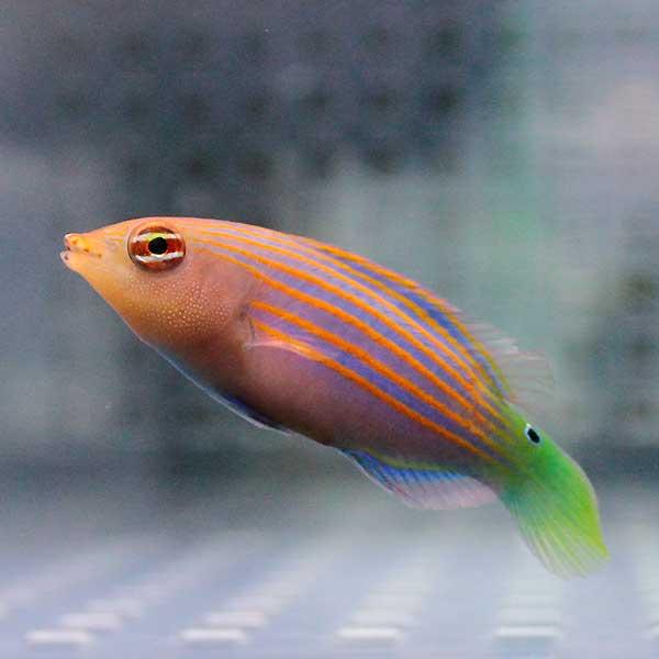 ニセモチノウオ 3-4cm±! 海水魚 ニセモチノウオ 15時までのご注文で当日発送【ベラ】