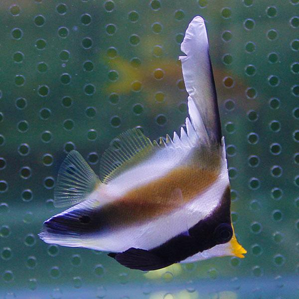 ミナミハタタテダイ 3匹セット 5-7cm± チョウチョウウオ 海水魚 ショップ 春の新作シューズ満載