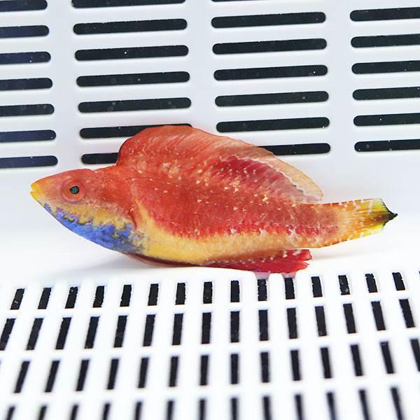 海水魚 生体 死着保証あり セイルフィンフェアリーラス 15時までのご注文で当日発送 ブランド買うならブランドオフ t122 7-9cm± ベラ まとめ買い特価