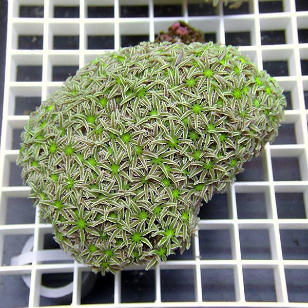 【サンゴ現物1】トンガ産クダサンゴ!15時までのご注文で当日発送