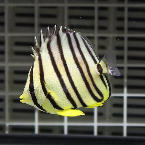 通常便なら送料無料 ヤスジチョウチョウウオ 5-7cm± 海水魚 15時までのご注文で当日発送 数量は多 チョウチョウウオ t114