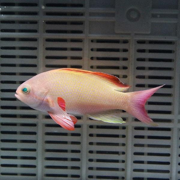 キンギョハナダイ オス ディスカウント 海水魚 ハナダイ 3匹セット t118 6-8cm± 餌付け 奉呈 15時までのご注文で当日発送