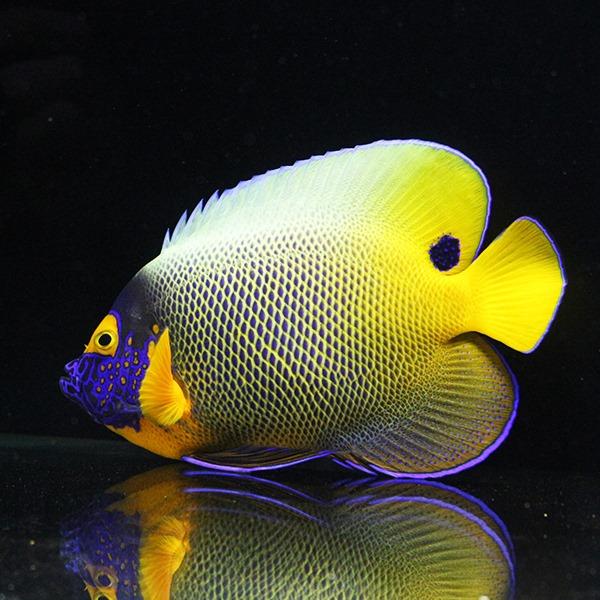【現物1】アデヤッコ 17.5cm± モルディブ産! 海水魚 ヤッコ【ヤッコ】