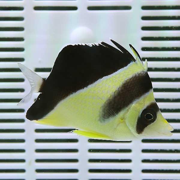 【サンプル】バーゲスバタフライ 8-9cm± !海水魚 生体 15時までのご注文で当日発送【チョウチョウオ】