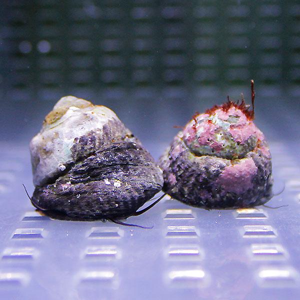 シッタカ貝 30匹セット 注意 ふるさと割 水なしで送ります クリーナー 15時までのご注文で当日発送 t130 ご予約品 貝