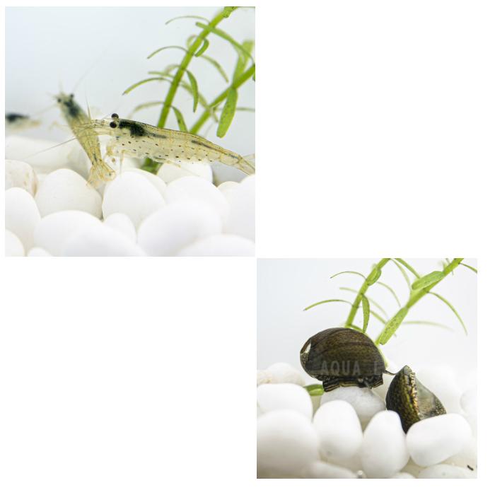 返品不可 ヤマトヌマエビ 5匹+石巻貝5匹 コケ対策 在庫あり 送料無料