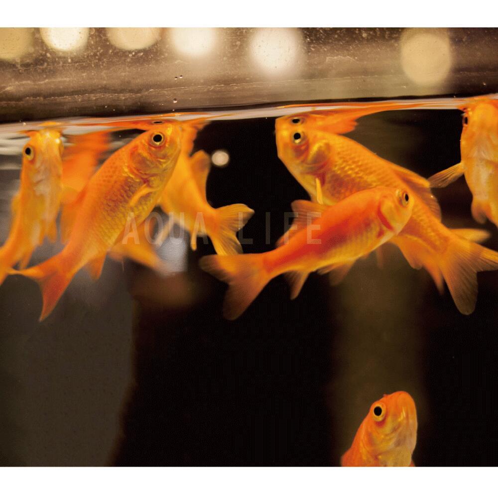 5☆大好評 金魚 小赤 100匹 エサ用金魚 エサ金 送料無料 餌金 格安店 大和郡山産