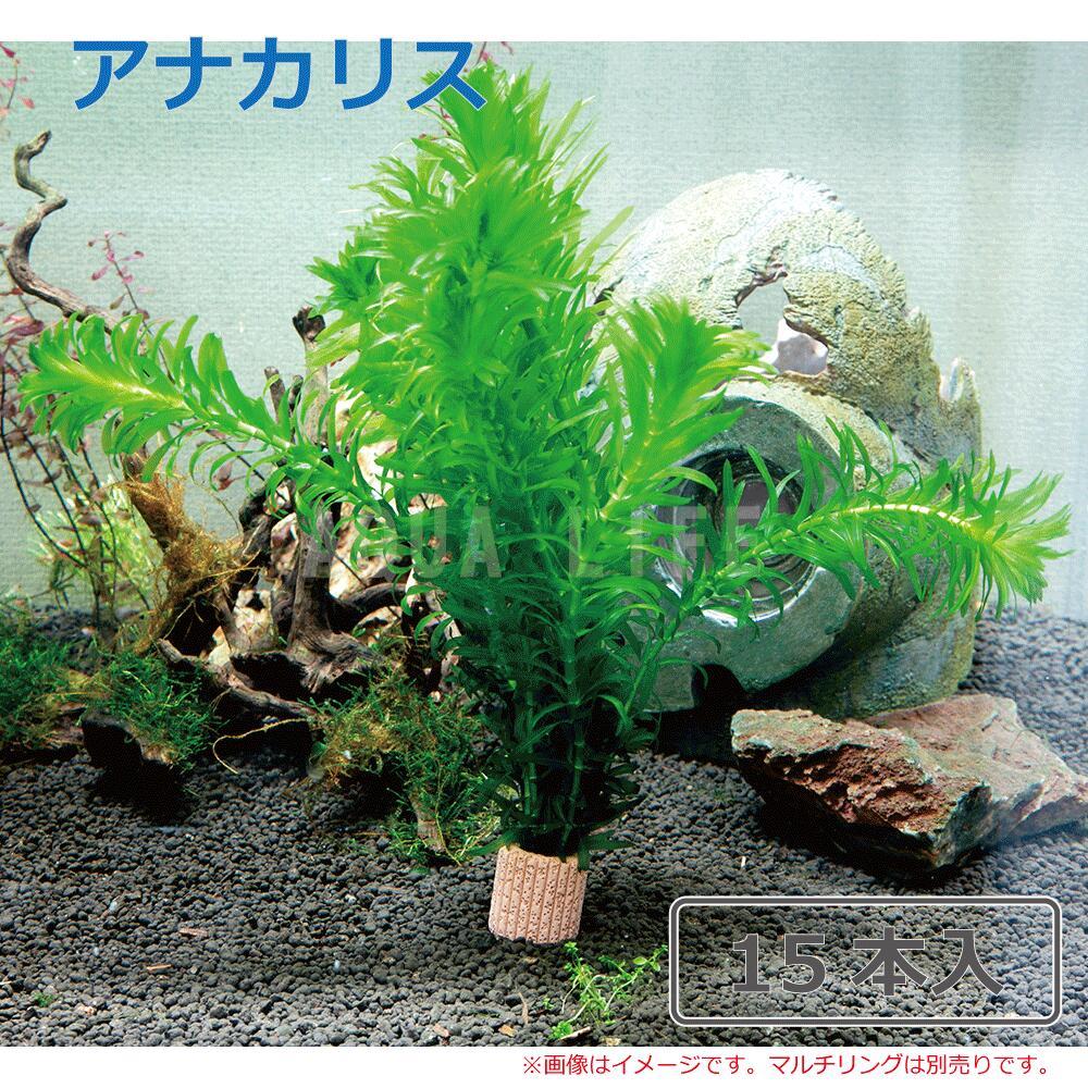 おすすめ特集 水草 国産 アナカリス 15本 公式サイト 金魚藻 送料無料 メダカ