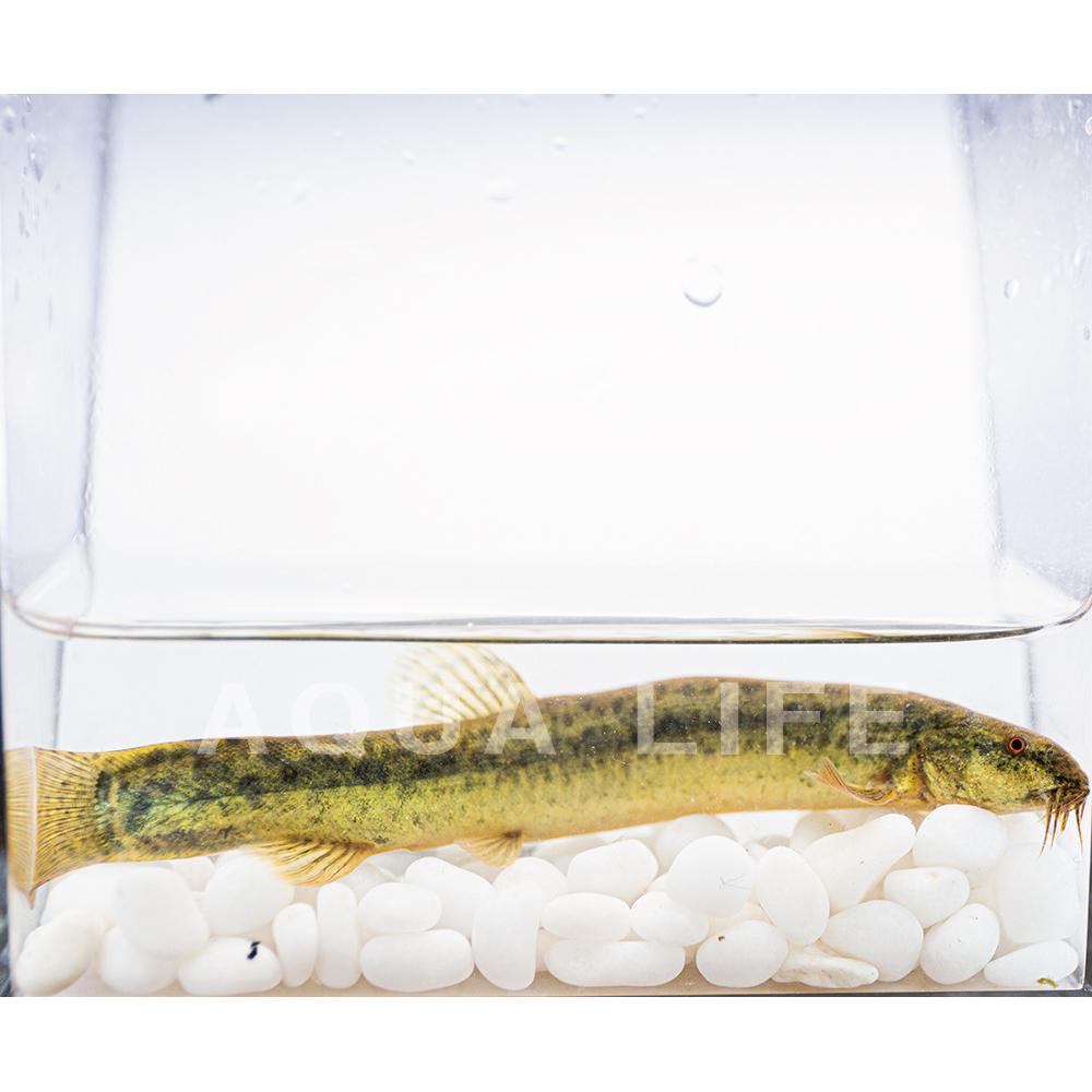 超激安 ドジョウ トラスト どじょう Mサイズ 5匹 生き餌