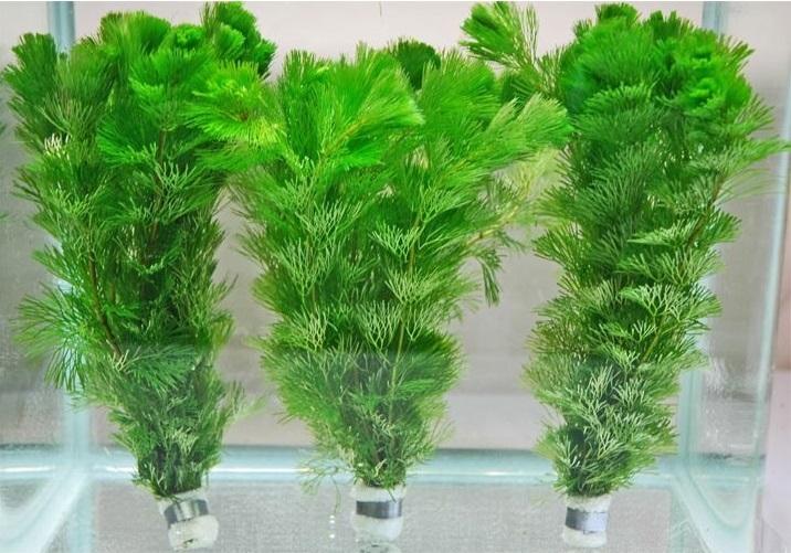 18%OFF 10本から15本をスポンジで巻き ナマリで抑えてあり植えやすい LIVE 金魚草 水草 メダカ 出荷 生体 カモンバ 水槽 3束