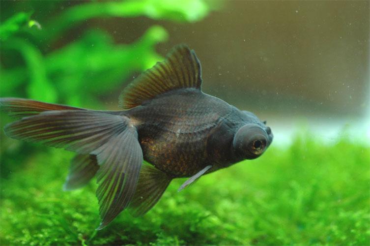 個体サイズ約:4~6cm2021年9月17日入荷 LIVE 金魚 国産 SM 生体 3匹 黒出目金 選択 安値