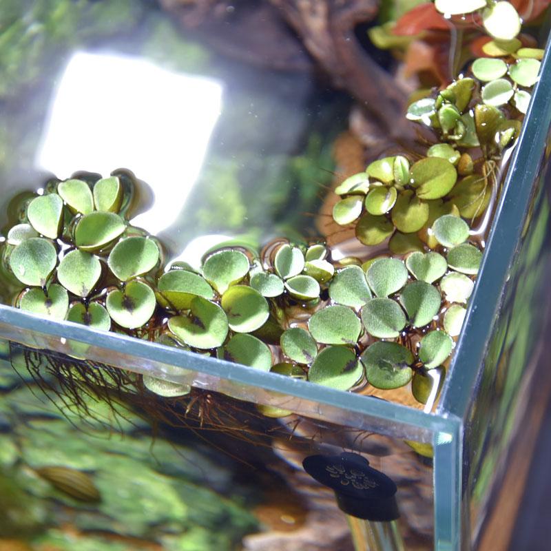 超目玉 アクアリウムで育つ小さな浮き草 浮き草 サルビニア 捧呈 国産 ククラータ 1カップ