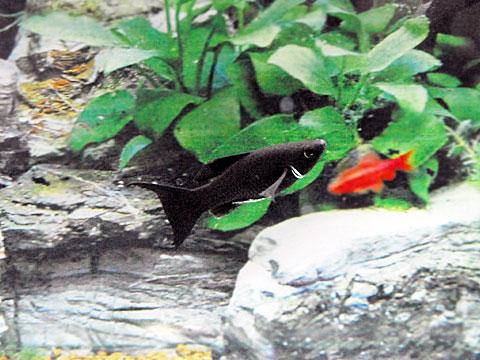ブラックライヤーモーリー (5cm) 5匹セット