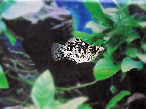 在庫処分 ストアー 熱帯魚 マーブルバルーンモーリー 5匹セット 生体