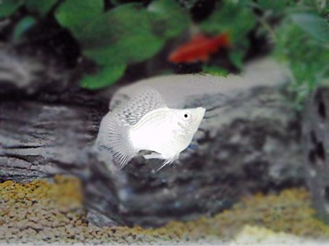 シルバーバルーンモーリー (3cm) 10匹セット