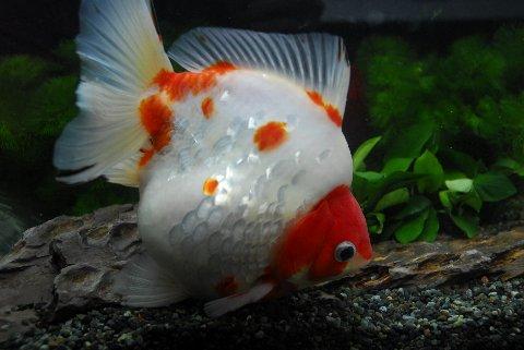 【金魚王子】ショートテール更紗琉金(さらさりゅうきん) (20cm前後) 1匹