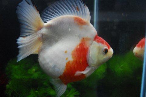 【金魚王子】 ショートテール更紗琉金(さらさりゅうきん) (15cm前後) 1匹