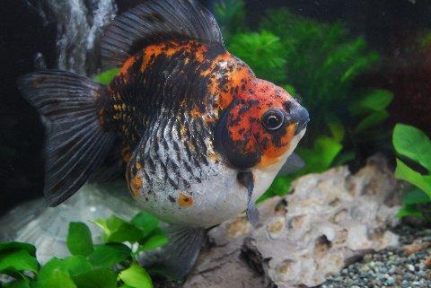 【金魚王子】 ショートテール三色琉金(さんしょくりゅうきん) (15cm前後) 1匹