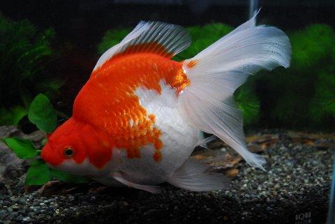 【金魚王子】 ロングテール更紗琉金(さらさりゅきん) (18cm) 1匹