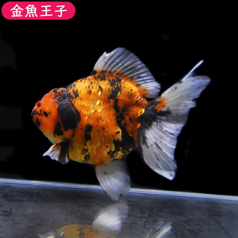 写真の個体をお届けします!  【金魚王子】ゼブラオランダ (17センチ前後) 個体番号:asd603 金魚 きんぎょ 生体 オランダ 厳選個体