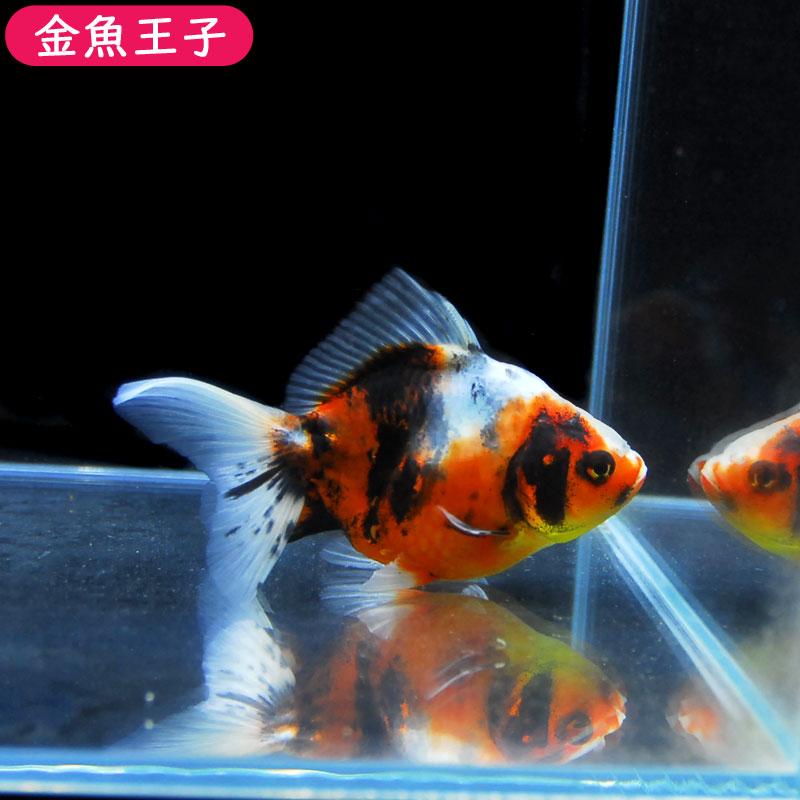 【金魚王子】キャリコオランダ(タイ系統) (11.5センチ前後) 個体番号:cvb342 金魚 きんぎょ 生体 オランダ 厳選個体