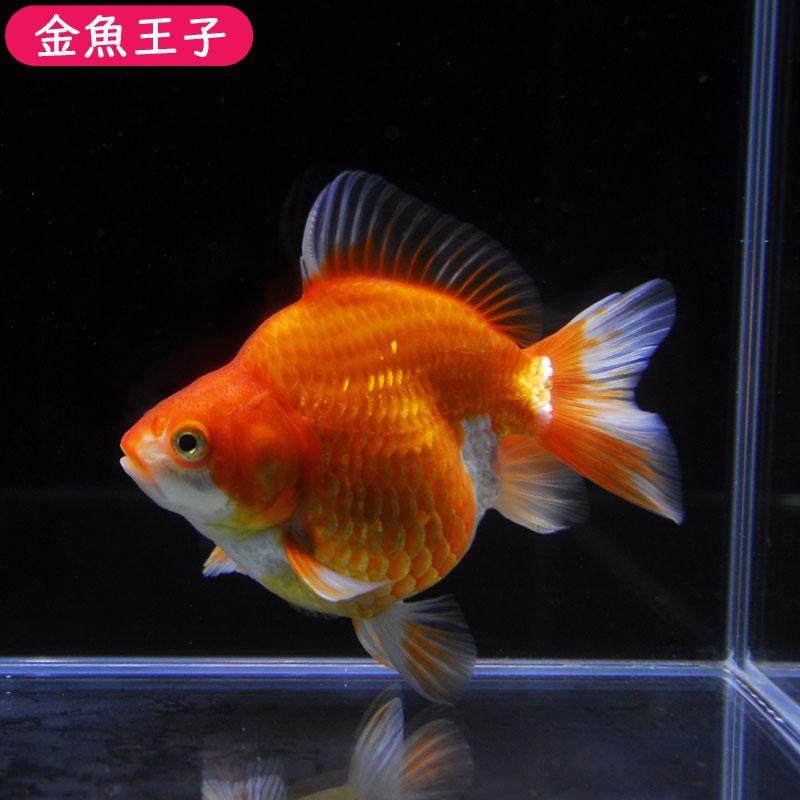 【金魚王子】更紗ショートテール琉金 (12センチ前後) 個体番号:cvb372 金魚 きんぎょ 生体 琉金 厳選個体