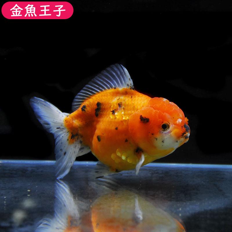 写真の個体をお届けします!  【金魚王子】三色セルフィンらんちゅう (14センチ前後) 個体番号:asd611 金魚 きんぎょ 生体 セルフィンらんちゅう 厳選個体