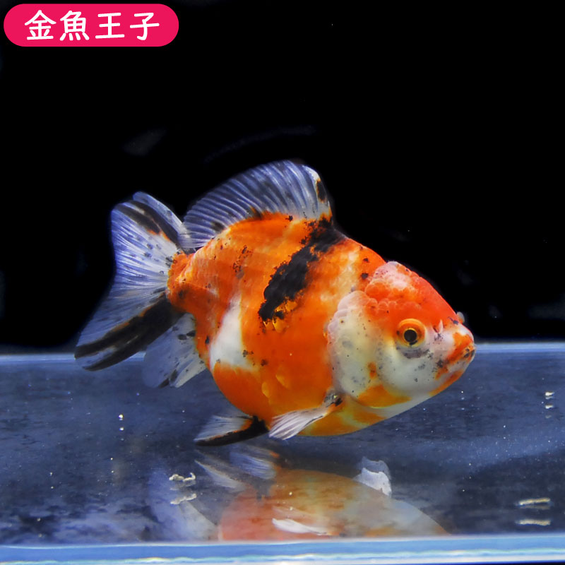 写真の個体をお届けします!  【金魚王子】三色セルフィンらんちゅう (12.5センチ前後) 個体番号:asd638 金魚 きんぎょ 生体 セルフィンらんちゅう 厳選個体