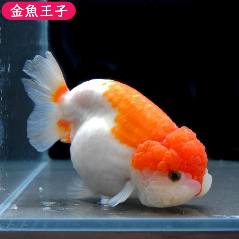【金魚王子】スモールテール更紗らんちゅう  (13センチ前後) 個体番号:asd821 金魚 きんぎょ 生体 らんちゅう 厳選個体