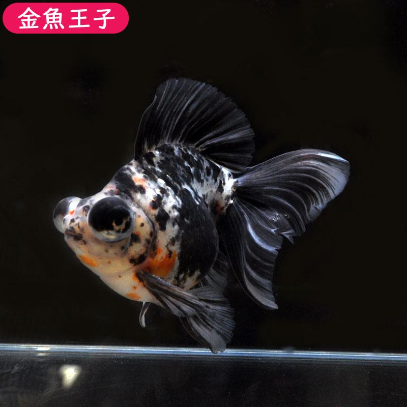【金魚王子】キャリコ蝶尾 (18センチ前後) 個体番号:asd931 金魚 きんぎょ 生体 蝶尾 厳選個体