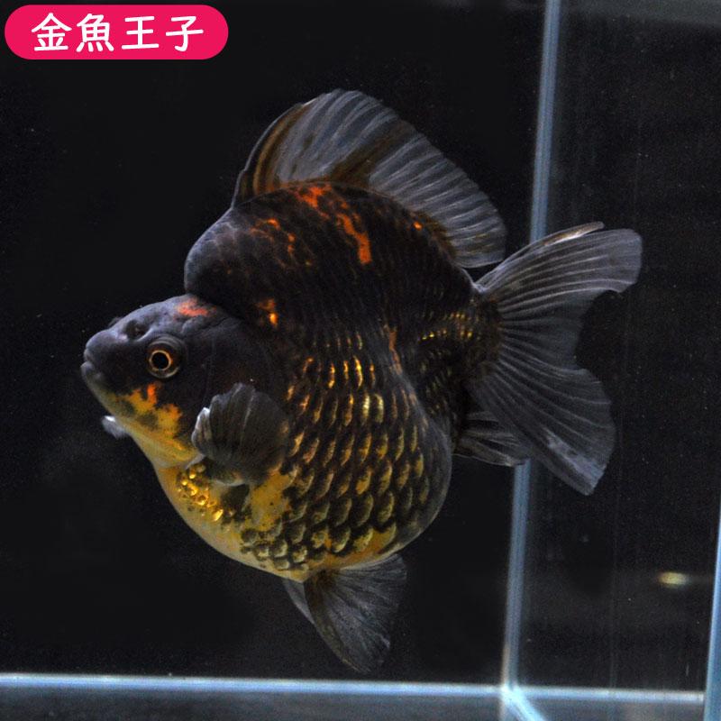 【金魚王子】黒ショートテール琉金  (14センチ前後) 個体番号:dfg102 金魚 きんぎょ 生体 琉金 厳選個体