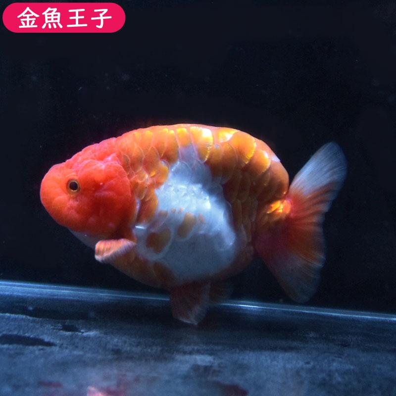 【金魚王子】更紗ドラゴンスケイルらんちゅう (12センチ前後) 個体番号:dfg513 金魚 きんぎょ 生体 らんちゅう 厳選個体