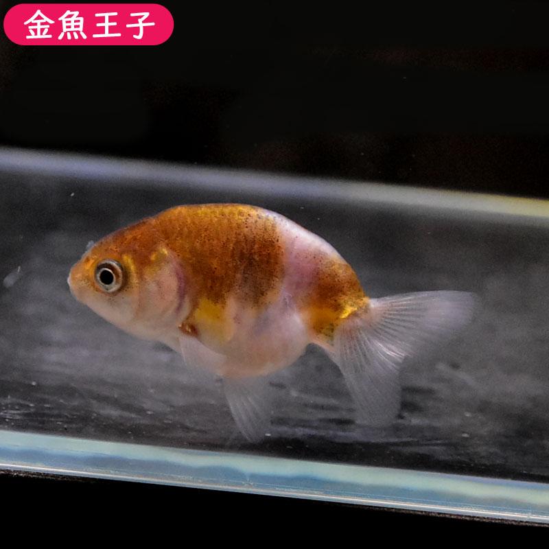写真の個体をお届けします 金魚王子 タイ産変わり柄らんちゅう 6.5センチ前後 個体番号:bnm716 生体 特価 1着でも送料無料 金魚 厳選個体 きんぎょ らんちゅう