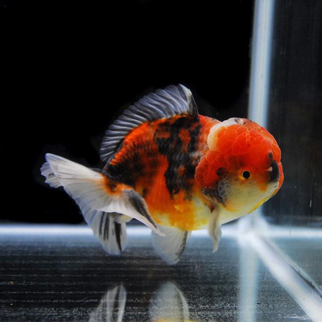 【金魚王子】三色セルフィンらんちゅう 2才 (14cm前後) 個体番号:asd352 (金魚 生体 水槽に彩りが加わります!厳選個体)
