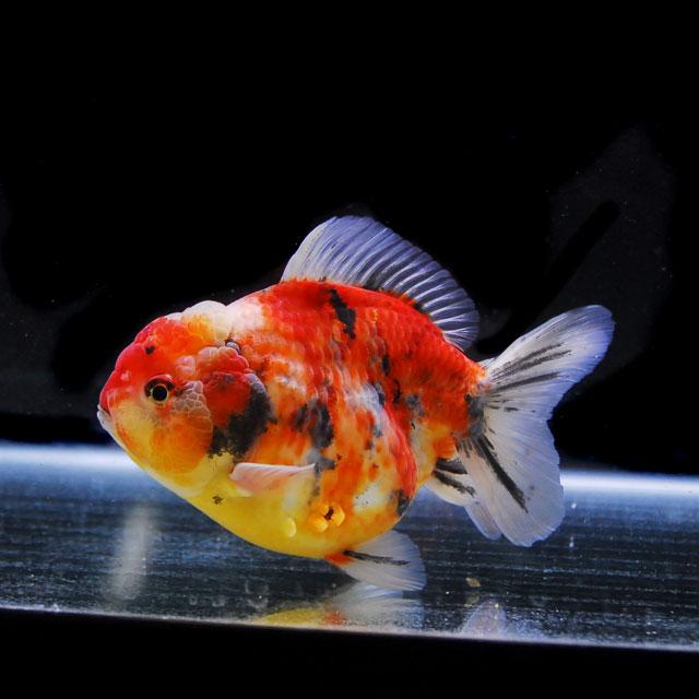 【金魚王子】三色セルフィンらんちゅう 2才 (14cm前後) 個体番号:asd353 (金魚 生体 水槽に彩りが加わります!厳選個体)