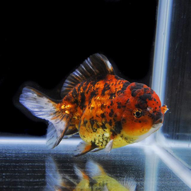 【金魚王子】ゼブラセルフィンらんちゅう 2才 (13.5cm前後) 個体番号:asd354 (金魚 生体 水槽に彩りが加わります!厳選個体)【pref】