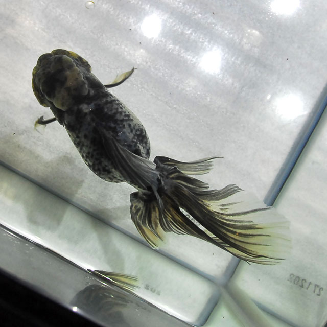 【金魚王子】墨オランダ  2才 (18cm前後) 個体番号:asd371 (金魚 生体 水槽に彩りが加わります!厳選個体)