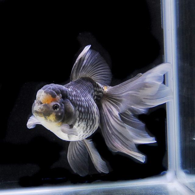 【金魚王子】墨オランダ  2才 (18cm前後) 個体番号:asd372 (金魚 生体 水槽に彩りが加わります!厳選個体)【pref】
