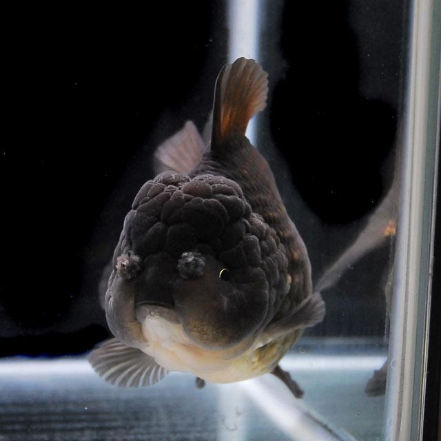 【金魚王子】黒セルフィンらんちゅう 2才 (16cm前後) 個体番号:asd377 (金魚 生体 水槽に彩りが加わります!厳選個体)
