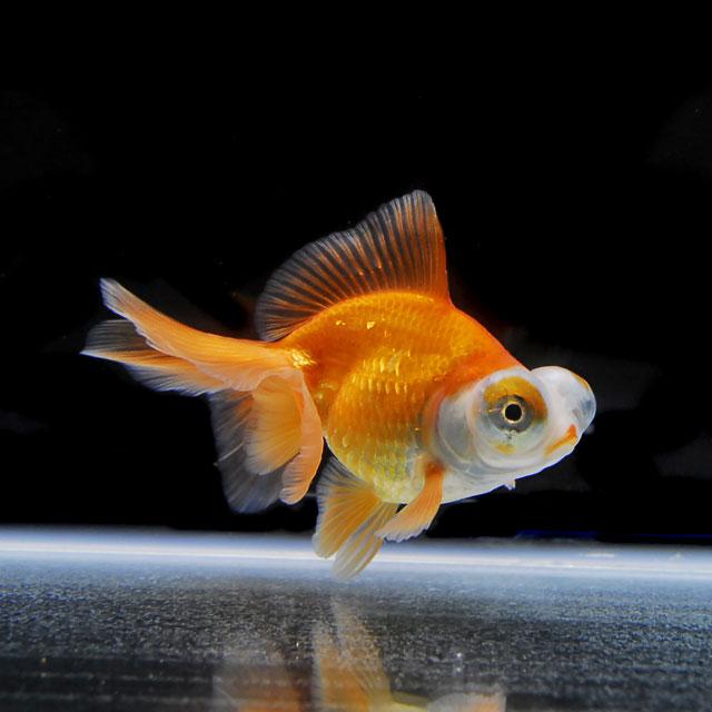 【金魚王子】レッド蝶尾 (明け2才/9.5センチ前後) 個体番号:xcv601 金魚 きんぎょ 生体 蝶尾 ちょうび 厳選個体